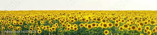 Fototapeta Panorama Yellow field of flowers of sunflowers against a light, white sky
