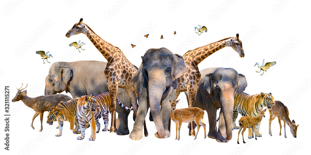 Fototapeta A group of wildlife such as deer, elephants, giraffes and other wild animals grouping together in a white background.Isolate