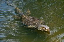 A Komodo Dragon Swimming In A ...