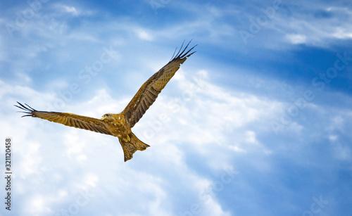 Black kite, Milvus migrans in flight in Senegal, Africa Canvas Print