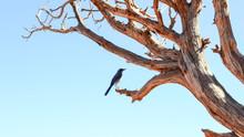 Bluebird On Tree Branch With B...