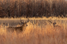 Pair Of Rutting Whitetail Deer...