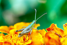 Grasshopper On A Yellow Flower