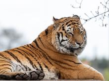 Powerful Amur Tiger Resting On...