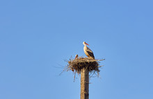 White Stork On A Nesting Pole ...