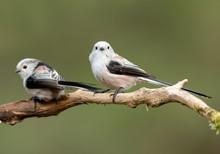 Long Tailed Tit (Aegithalos Ca...