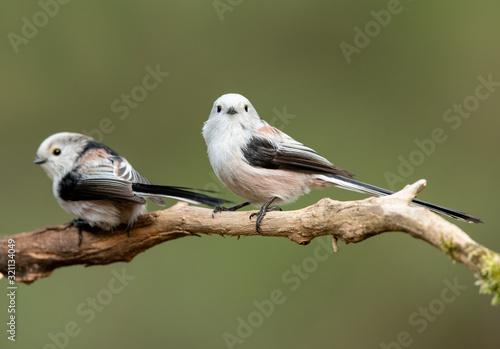 mata magnetyczna Long tailed tit (Aegithalos caudatus)