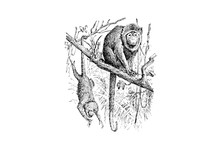 Vervet Monkey - Vintage Engraved Illustration 1889