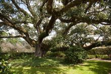Gnarled Live Oak Tree Outdoors