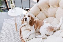 Amazing Beagle Dog Resting Aft...