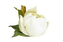 Tender White Magnolia Grandifl...