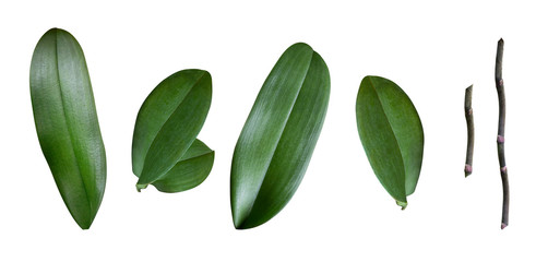 a set of orchid leaves isolated