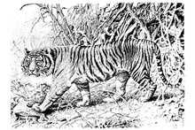 Tiger - Vintage Engraved Illus...