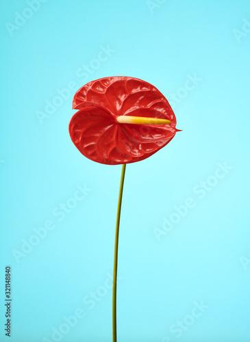 Red Anthurium Flower On Blue Teal Solid Background  - 321148840