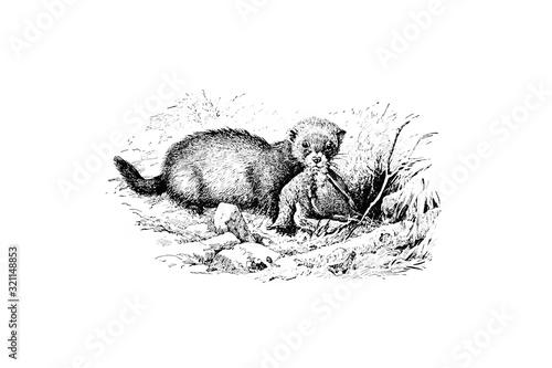Polecat - Vintage Engraved Illustration 1889 Slika na platnu