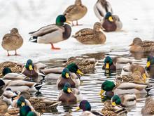 Mallard Ducks During The Winte...