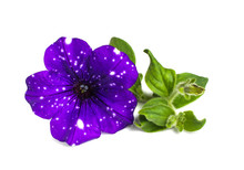 Petunia 'Night Sky'. Flower With Leaves Isolated On White Background