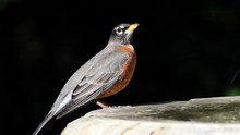 HD Video Of One American Robin...