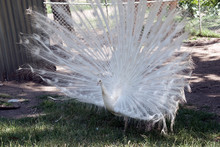 The White Peacock Is Displaying His Fan Tail