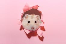 Little Fluffy Hamster Looks Th...