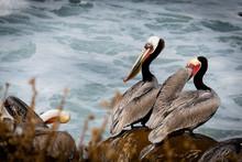 Pelicans On Rocks In La Jolla, California