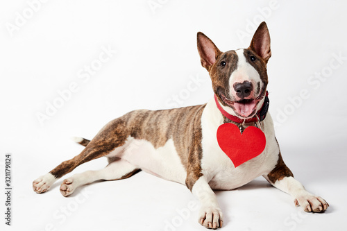 Fotografering Funny bull terrier dog sitting with Red paper Heart and pink bow in valentine day