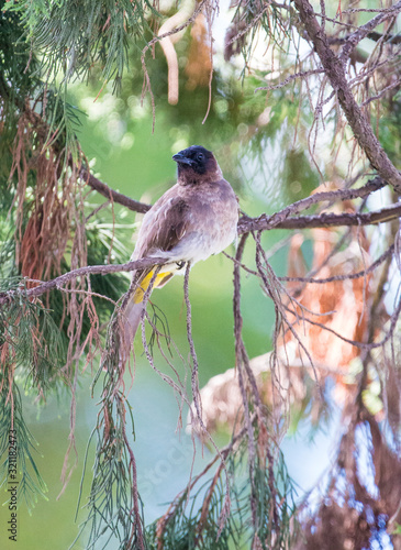 Blackeyed Bulbul Sitting on Branch of Fir Tree Fototapet