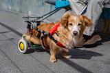 Fototapeta Zwierzęta - niepełnosprawny piesek na zwierzęcym wózku inwalidzkim podczas spaceru
