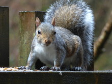 CUTE CHEEKY SQUIRRELS AT A HOLIDAY COTTAGE IN CORNWALL ENGLAND