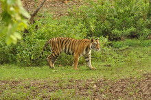 The Bengal Tiger Panthera Tigris Tigris Lives In India, Nepal,