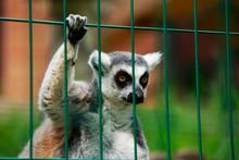 Lemur Sitting In Cage
