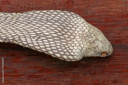 A close up head of a King Cobra Tapéta, Fotótapéta