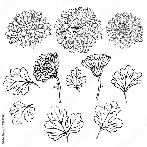 Beautiful chrysanthemum flowers Wallpaper Mural
