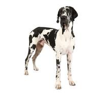 Purebred Great Dane Dog Isolat...