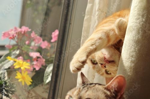 Valokuva 舌を出しでいたずらする猫アメリカンショートヘアー