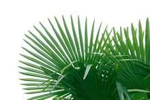 Natural Green Fan Shaped Palm ...