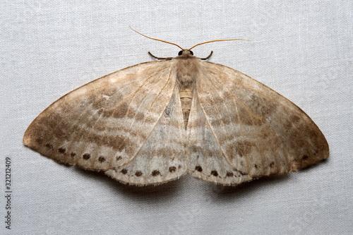 Moth, Lepidoptera, from Eaglenest WLS, Arunachal Pradesh Canvas Print