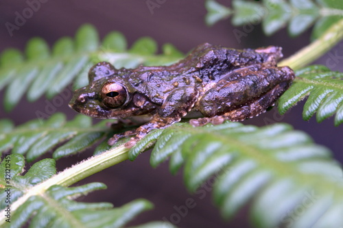 Photo LONG-NOSED TREE FROG, Kurixalus naso