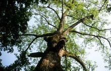 Canopy Of Red Silk Cotton Tree (Bombax Ceiba)