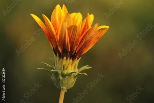 Photo Yellow Aster. Family Asteraceae. Pune, Maharashtra, India