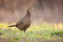 Female Common Pheasant, Phasia...