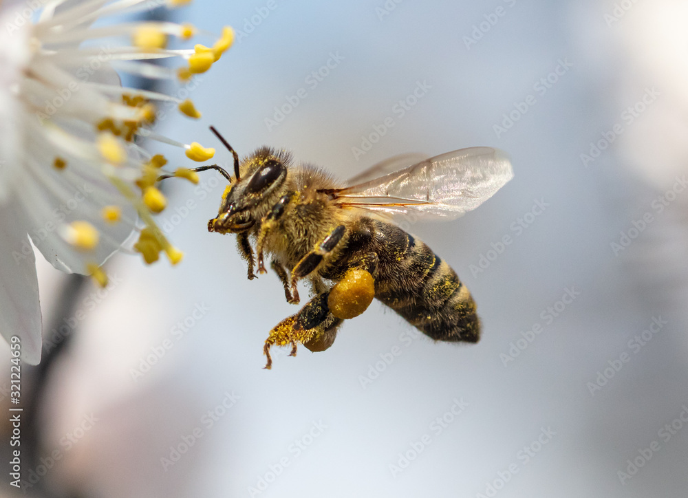 Fototapeta A bee collects honey from a flower