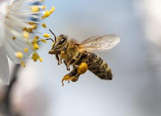 Pčela sakuplja med s cvijeta