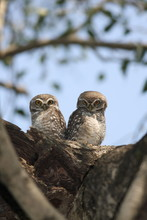 Spotted Owlet (Athene Brama) T...