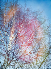Bare Branches Of A Birch On A Background Of Blue Sky