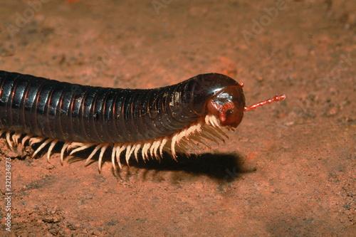 Photo Millipedes, Narceus americanus, are arthropods that have two pairs of legs per s