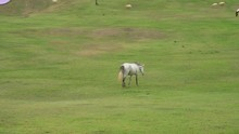Gray Horse Walking On The Meadow
