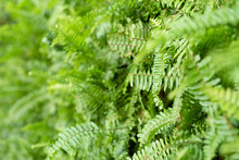 Green Fern With Leaves On The ...