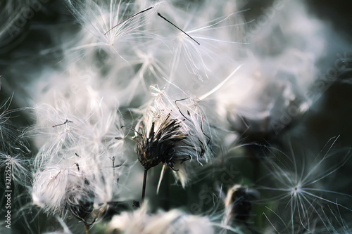 White fluffy agrimony plant in rural field Wallpaper Mural