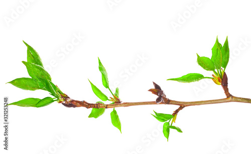 Young foliage on poplar twigs isolated on a white background. Wallpaper Mural